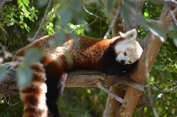 San_Diego_Zoo_Red_Panda